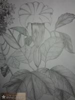 铅笔画花卉细节图-vicky莹莹的作品图片