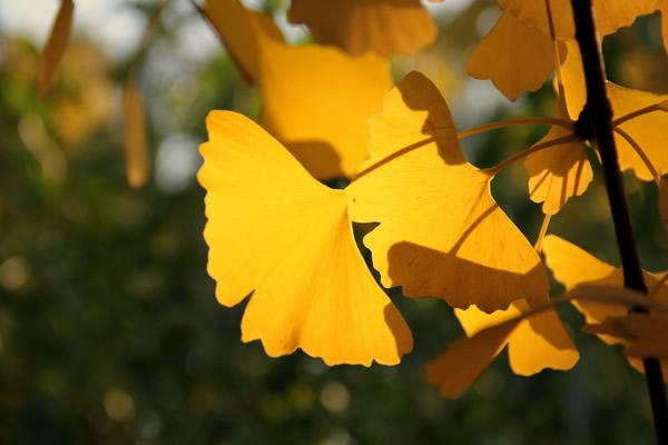 上午坐在公园晒太阳,一阵风刮来,银杏树的叶子落了一地,一片金黄色。我挑选了几片喜欢的叶子装在盒子里,打算拿回家夹在书本里收藏。 上一次做这样的事已经是十几年前了,那时还在上初中,高中以后便一直错过, 自己好像一直在忙碌,每每想起收藏几片银杏叶子,不是已经春天了就是进入寒冬了,这样金灿灿的叶子早已经腐烂在泥土里了。